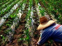 Irrigazione manuale di un campo di mais in Tailandia del Nord Fotografia Stock