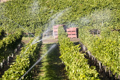 Irrigazione organica della vigna di Pinot Noir della valle di Okanagan Fotografia Stock