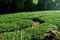 Irrigazione per l'azienda agricola di albero del tè sulla collina Fotografia Stock