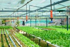 Irrigazione a pioggia nell'azienda agricola della verdura di coltura idroponica Fotografie Stock