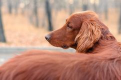 Irrish setter. Royalty Free Stock Images