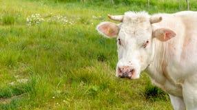 Irritar voa nos olhos e no nariz de uma vaca branca fotos de stock royalty free