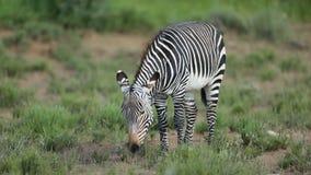 Irritated Cape mountain zebra stock footage