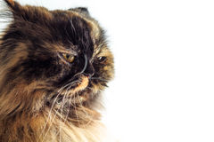 Irritated cat. Isolated on white background. Funny animal Stock Photography