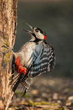 Irritated male of the great spotted woodpecker on the trunk Stock Photos