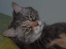 Irriterad katt Royaltyfri Bild