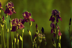 Irsi flowers. Purple iris flowers on a green Royalty Free Stock Photography