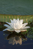 Irupe flower. In a pond Stock Image