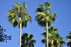 Irvine California Palm Trees. A palm tree in Irvine in southern california against a blue sky Royalty Free Stock Photos