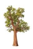 Irvingia malayana also known as Wild Almond Royalty Free Stock Image