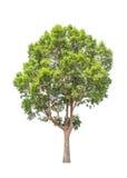 Irvingia malayana also known as Wild Almond tree Stock Photo