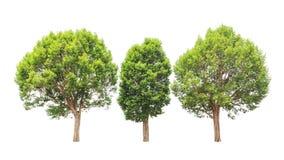 Irvingia malayana also known as Wild Almond trees Stock Images