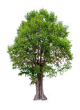 Irvingia malayana tree Royalty Free Stock Images