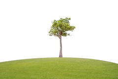 Irvingia malayana tree on green grass Royalty Free Stock Images