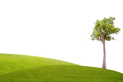 Irvingia malayana tree on green grass Stock Images