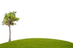 Irvingia malayana tree on green grass Royalty Free Stock Photography