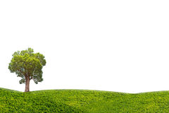 Irvingia malayana tree on green meadow isolated on white background Stock Photography