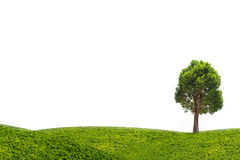 Irvingia malayana tree on green meadow isolated on white background Stock Photo