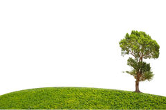 Irvingia malayana tree isolated on green grass Royalty Free Stock Photo