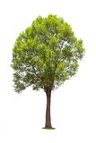 Irvingia malayana tree Royalty Free Stock Photos