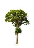 Irvingiamalayana als Wilde Amandel, tropische boom in Th ook wordt bekend dat royalty-vrije stock afbeeldingen