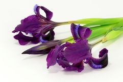 Irysów kwiaty Zdjęcie Stock