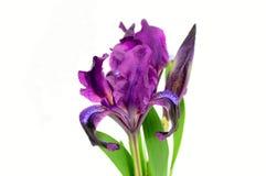 Irysów kwiaty Zdjęcia Royalty Free