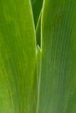 irysów zieleni liść fotografia stock