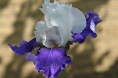 Irys - kwiat nadzwyczajnego pi?kna doro?ni?cie w ogr?dzie fotografia royalty free
