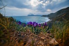 Irys kwitnie blisko morza Zdjęcia Royalty Free