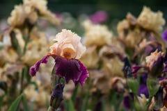 Irys kwitnie kwitnącą łąkę Fotografia Stock
