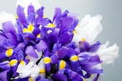 Irys kwitnie tło, wiosny kwiecisty patern Obraz Stock