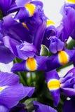 Irys kwitnie tło, wiosny kwiecisty patern Zdjęcie Stock