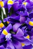 Irys kwitnie tło, wiosny kwiecisty patern Obrazy Stock
