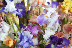 Irys kwitnie w błękitnym, purpurowy, kolorów żółtych kolorów tło Obrazy Stock