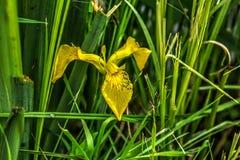 irys Lato kwiat Zdjęcia Stock
