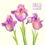 Irys lis kwitnie ilustrację Zdjęcia Royalty Free