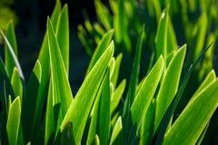 Irys zieleni liście Obrazy Royalty Free