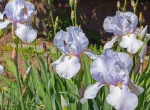 Irysa Biały flowerbed kwitnie, perennial, wiosna kwiat Fotografia Stock