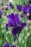 Irysowa łąka Zdjęcie Royalty Free