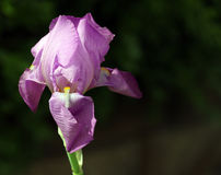 1 irysowa purpurowy Obrazy Stock