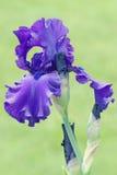 irysowe purpury Obraz Royalty Free