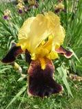 Irysowego germanica 'kraju uroka' wino żółty kwiat Zdjęcie Stock