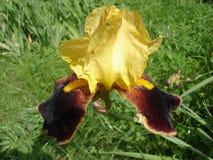 Irysowego germanica 'kraju uroka' wino żółty kwiat Fotografia Royalty Free