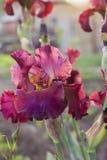 Irysowy flowerbed kwitnie, perennial, wiosna kwiat Obrazy Stock