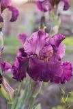 Irysowy flowerbed kwitnie, perennial, wiosna kwiat, Zdjęcia Royalty Free