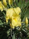 Irysowy germanica kolor żółty pączkuje i kwitnie Fotografia Stock
