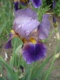 Irysowy germanica purpur kwiat na deszczowym dniu Zdjęcia Royalty Free