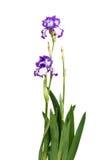 Irysowy Inky błękitny kwiat Zdjęcia Stock