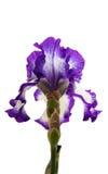 Irysowy Inky błękitny kwiat Zdjęcie Royalty Free
